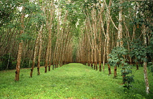 View down one avenue of trees in Rubber tree plantation {Hevea brasiliensis} Thailand  -  John Downer
