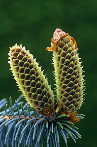 Close up of female inflorescence on Sitka spruce {Picea sitchensis) Scotland - Duncan Mcewan