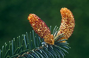 Close up of male inflorescence on Sitka spruce {Picea sitchensis) Scotland - Duncan Mcewan
