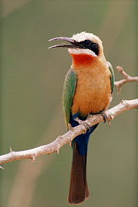 White fronted bee-eater {Merops bullockoides} on branch with beak open, Okavango Delta, Botswana, Africa. - Pete Oxford
