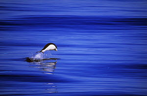 Southern right whale dolphin {Lissodelphis peronii} porpoising off coast of Peru  -  Pete Oxford