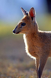 Young Blue duiker {Cephalophus monticola} Kenya - Peter Blackwell