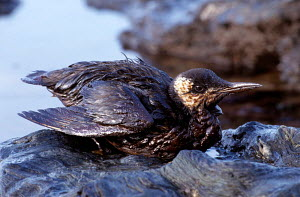 Common guillemot covered in oil from tanker Erika.{Uria aalge} Brittany, France. Dec 1999  -  VINCENT MUNIER