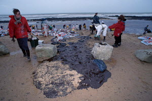 Collecting seabirds killed in oil spill from tanker Erika. Dec 1999 Croisic, Brittany, France. - VINCENT MUNIER