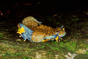Yellow bellied toad {Bombina variegata} warning display  Europe  -  Tony Phelps