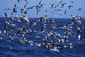 Flock of Sooty shearwaters {Puffinus griseus} and Black legged kittiwakes feeding {Rissa tridactyla)  -  Sue Flood