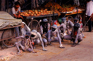 People impersonating Langur monkeys at fruit stall. New Delhi, India, street theatre  -  Toby Sinclair