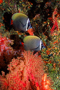 Collared butterflyfish {Chaetodon collare} Andaman sea, Thailand  -  Georgette Douwma