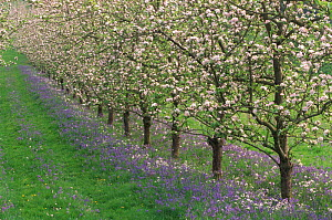 Apple trees in blossom with Bluebells, UK  -  Colin Varndell