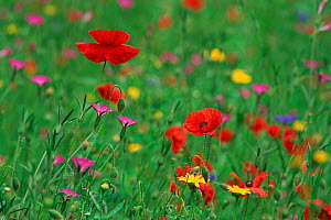 Wild flowers including Poppy and Corncockle cultivated for seed, Leeuwarden, Netherlands  -  Niall Benvie