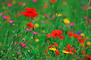 Wild flowers, including Poppy and Corncockle, cultivated for seed , Netherlands  -  Niall Benvie