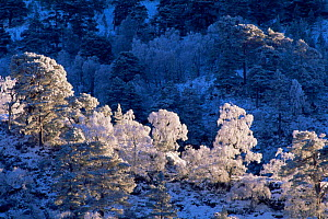 Frost and snow on mixed woodland Inverness-shire, Scotland, UK - Duncan Mcewan