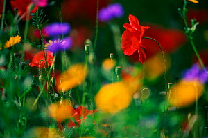 Common poppy and other wild flowers {Papaver rhoeas} UK - Chris Gomersall