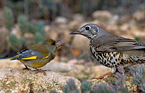 Greenfinch {Carduelis chloris} meets mistle thrush {Turdus viscivorus} at water. Alicante, Spain  -  Jose B. Ruiz