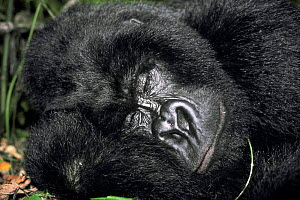 Mountain gorilla asleep {Gorilla beringei} Virunga NP, Congo. ^Rafiki^ killed by roaming militia after Rwandan crisis.  -  Jabruson