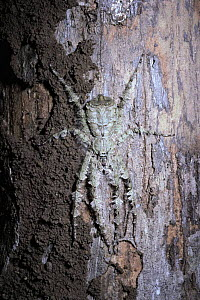 Lichen Spider female {Pandercetes gracilis} disguised on tree trunk Sulawesi, Indonesia - PREMAPHOTOS