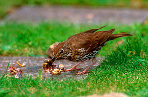 Song thrush eating snail {Turdus philomelos} Gloucestershire, UK  -  WILLIAM OSBORN