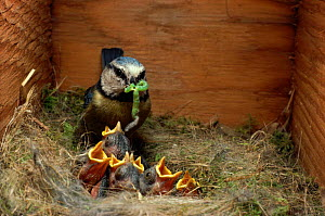 Blue tit brings caterpillar to young in nestbox  {Parus caeruleus} UK  -  Colin Varndell