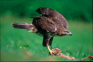 Common buzzard with rabbit prey {Buteo buteo} UK - Colin Varndell