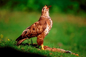Common buzzard feeding on rabbit prey {Buteo buteo} UK - Colin Varndell