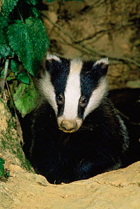 Badger emerging from set {Meles meles} UK - Colin Varndell