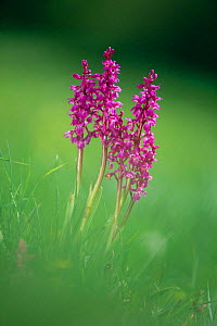 Early purple orchid flowers {Orchis mascula} England, UK  -  Colin Varndell