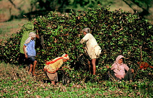 Local people removing Water hyacinth (Eichhornia crassipes) in Keoladeo Ghana NP, Bharatpur, Rajasthan, India.  This invasive aquatic introduced plant chokes the wetlands if not controlled, the remova...  -  Bernard Castelein