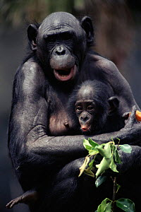 Bonobo mother and baby {Pan paniscus} San Diego Zoo, CA, USA - Karl Ammann