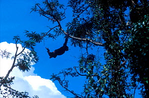 Chimpanzee swinging through trees at Chimfunshi sanctuary, Zambia  -  Karl Ammann