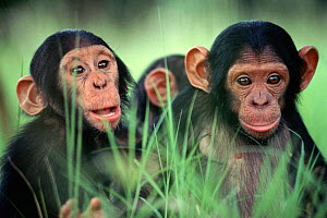 Young Chimpanzee orphans, Chimfunshi sanctuary, Zambia  -  Karl Ammann