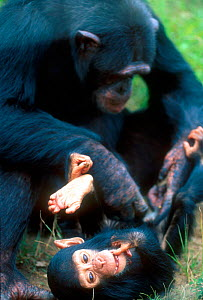 Chimpanzee grooming infant, Chimfunshi sanctuary, Zambia  -  Karl Ammann