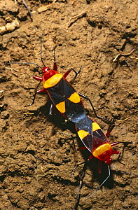 Cotton stainer bugs mating (Phonoctonus sp) Ankarana Special Reserve, Madagascar - Pete Oxford