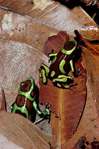 Green poison arrow frog {Dendrobates auratus} female lays eggs, male stands guard, Panama  -  Neil Bromhall