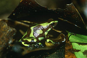 Green poison arrow frog female about to lay eggs in leaf litter {Dendrobates auratus} Panama  -  Neil Bromhall