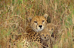 Cheetah with cubs in grass {Acinonyx jubatus} Masai Mara, Kenya  -  Peter Blackwell