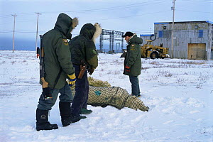 Polar bear tranquillised for transportation to sea ice Churchill, Canada {Ursus maritimus} - Mark Payne-Gill