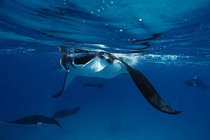 Manta ray {Manta birostris} feeding at surface, Sudan, Red Sea  -  Georgette Douwma