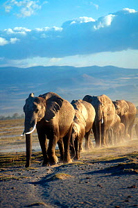 African elephant (Loxodonta africana) herd walking in line, female matriach at the front, Amboseli GR, Kenya, East Africa - Karl Ammann