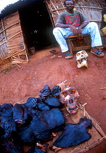 Hunter with smoked carcass of silverback Gorilla {Gorilla gorilla} for food, Cameroon - Karl Ammann