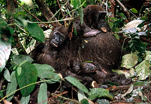 Family of five Gorillas killed for bush meat {Gorilla beringei} Cameroon  -  Karl Ammann