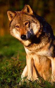Grey wolf portrait (Canis lupus} Captive  -  Andrew Murray