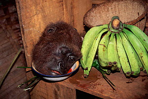 Gorilla head (hunted for meat) next to bananas, Cameroon  -  Karl Ammann