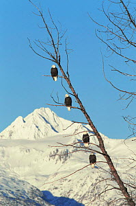 Four American bald eagles perched in tree{Haliaeetus leucocephalus} Chilkat, Alaska, USA  -  John Downer