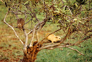 Two Small toothed rock hyrax {Heterohyrax brucei} in a tree, Tsavo NP, Kenya  -  Georgette Douwma