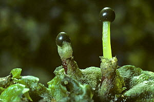 Liverwort {Pellia epiphylla} with developing sporangia, Scotland, UK - Duncan Mcewan