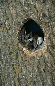 Southern flying squirrel {Glaucomys volans} with baby in mouth, at nest hole.  -  Bernard Walton
