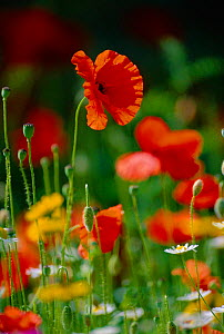 Wild flowers in reseeded meadow, including  Common poppy + Corn marigold + Corn chamomile. UK - Chris Gomersall