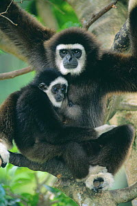 White handed gibbon (Hylobates lar) with young, captive  -  Anup Shah