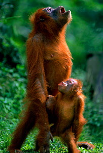 Orang utan and young catching rain with open mouth {Pongo abelii} Gunang Leuser NP, Indonesia  -  Anup Shah