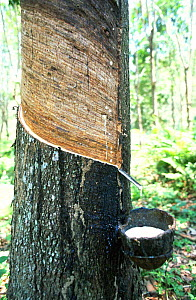Collecting latex from Rubber tree {Hevea brasiliensis} Malawi, Southern Africa  -  Nick Garbutt